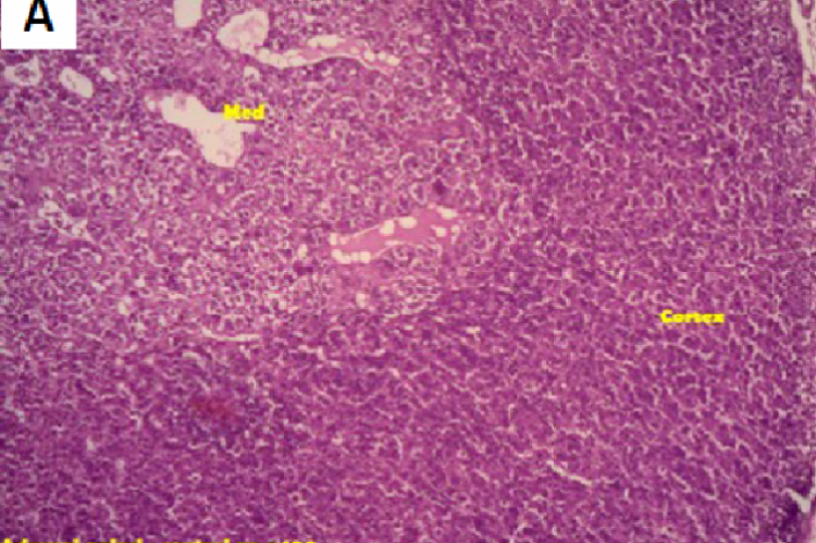 Histology of adrenal gland after 7 days treatment with aqueous extract of Antidesma menasu leaves in rats